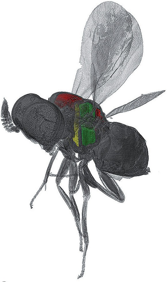 Aus der Computeranalyse der Daten der Synchrotronquelle ANKA entstehen Bilder wie dieses halbtransparente Rendering einer Wespe mit unterschiedlich eingefärbten Bereichen der Flugmuskulatur (Bild: KIT).